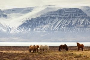 Icelandic horses silhouetted against a snowy mountain in Iceland