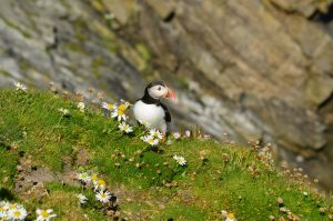 A puffin standing in amongst the daisy flowers on a cliff edge in Iceland