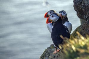 Three puffins photographed on a cliff edge in Iceland