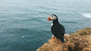 A puffin in Iceland on a cliff staring off to sea