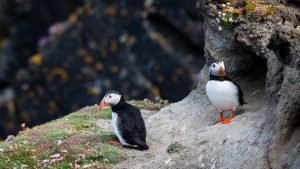 Two puffins standing by their nest on a cliff edge in Iceland