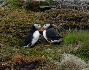 two puffins touching beaks by their nest on a cliff edge in Iceland