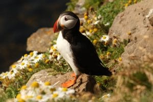 A puffin in Iceland standing on a rock with daisy flowers