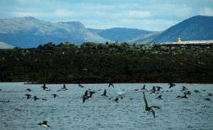 Several puffins flying over Lundey Island