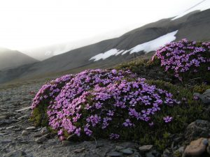 Moss Campion flowers growing in Iceland