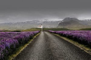 Lupine plants on Snaefellsnes peninsula in Iceland