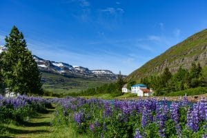 Lupine plants growing wild in the Icelandic countryside
