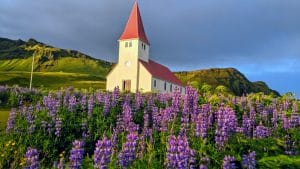 Lupines in Iceland in Vík