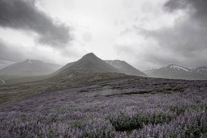 A field full of lupine flowers in Iceland with a mountain in the background